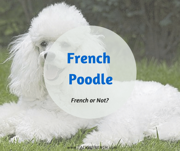 french poodle FRENCH OR NOT