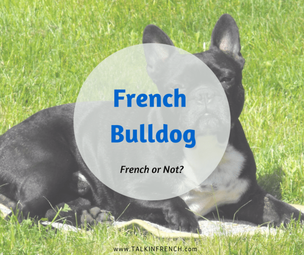 french bulldog FRENCH OR NOT