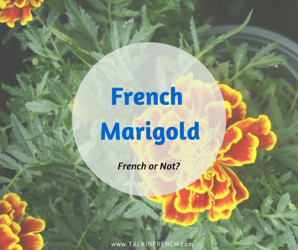 french marigold FRENCH OR NOT